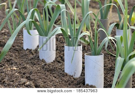 Leeks allium ampeloprasum growing in plastic pipes to blanch and extend the stems in a vegetable garden variety Musselburgh.