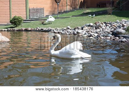 The white swan beautifully floats along the pond. Graceful bird