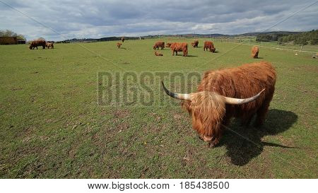 Wide Angle Shot Of A Highland Cow And Meadow