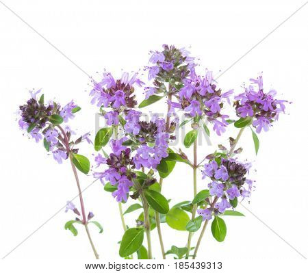blooming sprigs of  Wild Thyme (Thymus serpyllum) isolated on white background