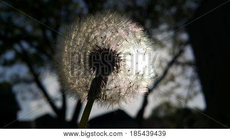 Close-up Dandelion. Nature dandelion. Dandelion blowing seed