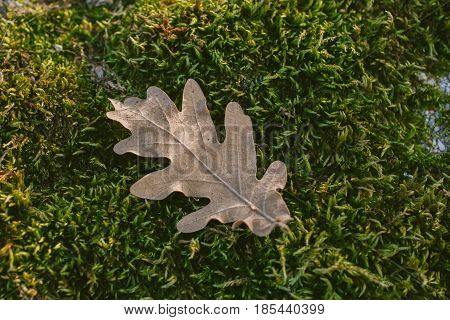 Oak tree leaf in mossy background. Oak tree leaves. Texture of oak tree leaf in mossy background. Mossy background. Oak tree leaf isolated over green background. Texture for designers.