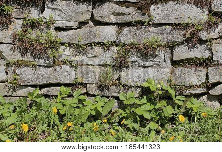Fieldstone Wall With Various Different Wild Plants