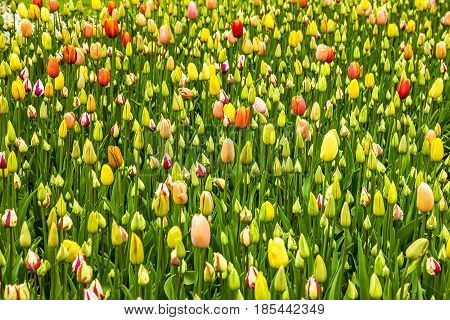Field of unblown bud tulips in park Keukenhof, Netherlands Green spring meadow near Amsterdam