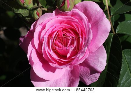 This is a close up image of a English tea rose in our Carmel, California rose garden.