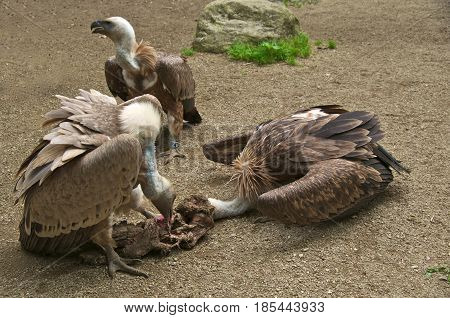 Griffon vulture (Gyps fulvus) with its head in a carcass.