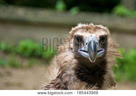 Animal portrait of a cinereous vulture (Aegypius monachus).