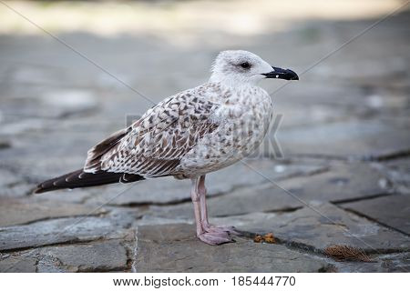 Gull stands on a stone pavement. Selective focus.