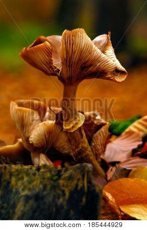 Fungus mushroom orange brown growing on rotten wood