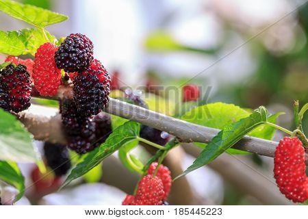 Mulberry on the branch of mulberry tree