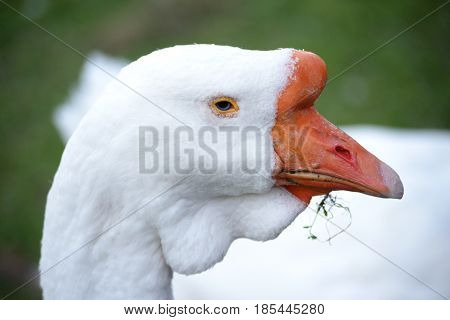 Portrait of a goose. Geese - a kind of waterfowl of the duck family a detachment of anseriformes.