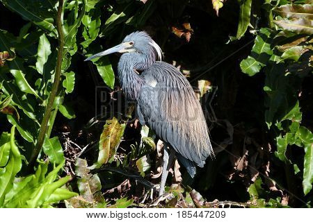 A Tricolor Heron in breeding plumage at a rookery in Florida