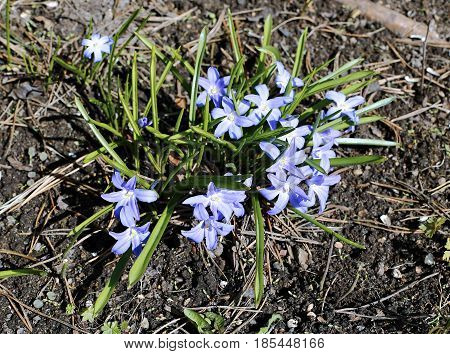 Flowers blue Scilla in the early spring