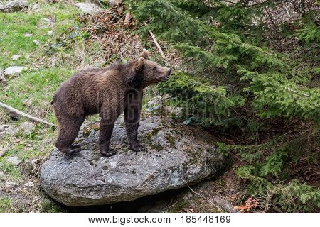 A small brown bear standing on a rock looking out into the forest. Baby Brown Bear. Ursus arctos.