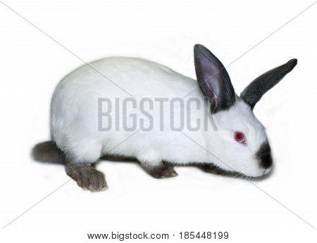 Little white rabbit of californian breed on white background