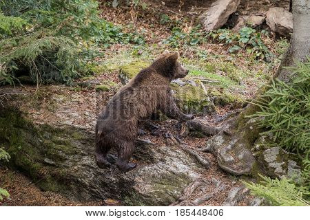 A small bear climbs out of the water and climbs on a rock.. Baby Brown Bear. Ursus arctos.