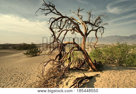 Dead tree in the Mojave desert - Death Valley California