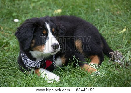 Bernese Mountain Dog Puppy Sitting In The Grass