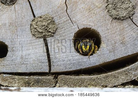 Wasp hiding in a solitary bee wooden nesting site.