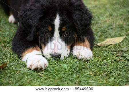 Bernese Mountain Dog Puppy In The Grass