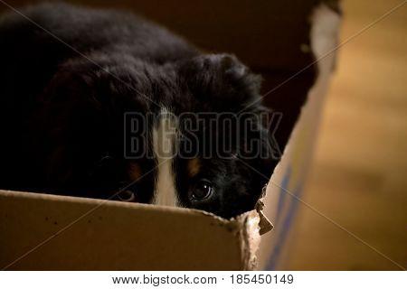 Bernese Mountain Dog Puppy Sitting In A Cardboard Bos