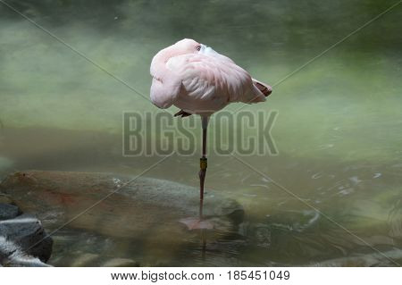 A flamingo standing in the water on one leg