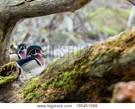 Wood duck male or Carolina duck is a species of perching duck found in North America. It is one of the most colorful North American waterfowl. Here it is perched on driftwood in the month of spring