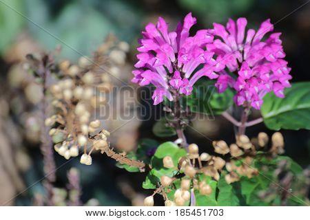 Scutellaria Coccinea, A Skullcap Species With Blossoms