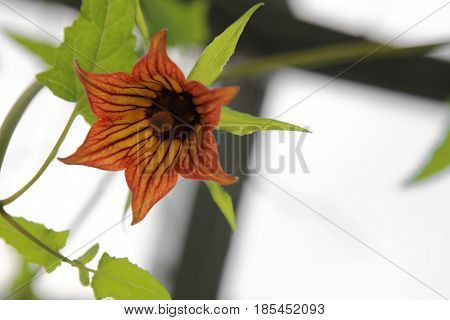 Canarina Canariensis (canary Bellflower) Blossom From Below