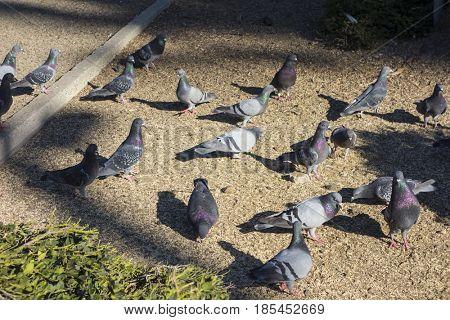 Feral pigeon (Columba livia domestica) in a park