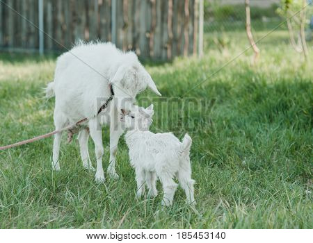Goats on a green lawn at summer. mother lovingly licking newborn boer goat in pasture.