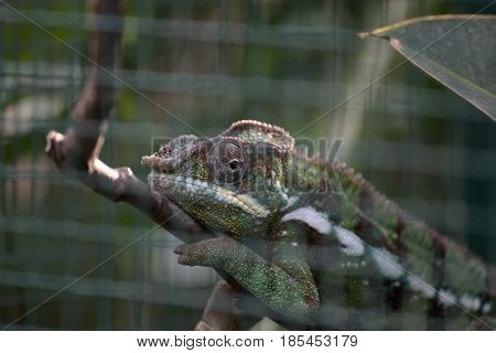 Panther Chameleon (furcifer Pardalis) With Defocused Cage