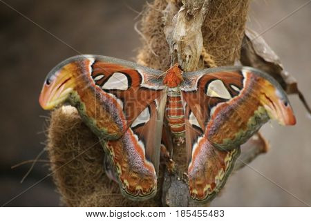 Attacus Atlas (atlas Moth), A Large Saturniid