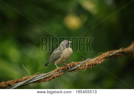 Young Gouldian Finch (erythrura Gouldiae) Sitting On A Wire