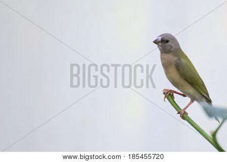 Young Gouldian Finch (erythrura Gouldiae) Sitting On A Twig