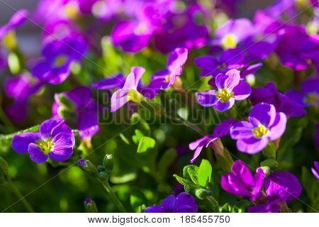 Aubrieta hybrida violet Obrieta with green leaves