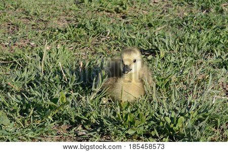 Tiny newborn baby Canada goose gosling resting and sunbathing in afternoon sun alone away from parents and rest of brood