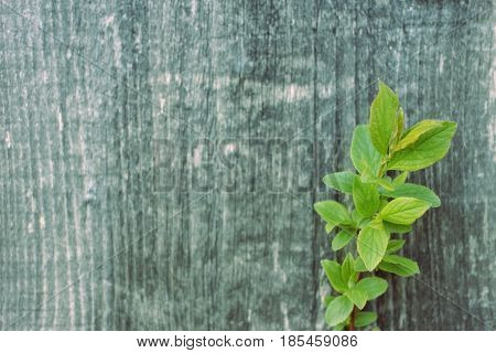spring tree brunch with small green leaves grey wooden background
