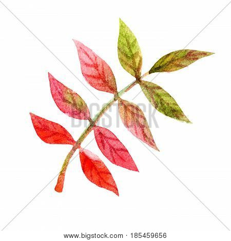 Autumn red rowan bunch leaves illustration isolated on white background. Watercolor sketch. Hand painted greeting card with nature element.