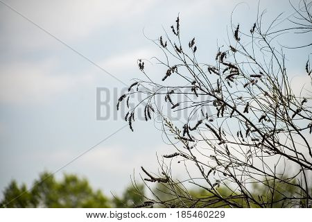 branches with dried catkins silhouette sky background