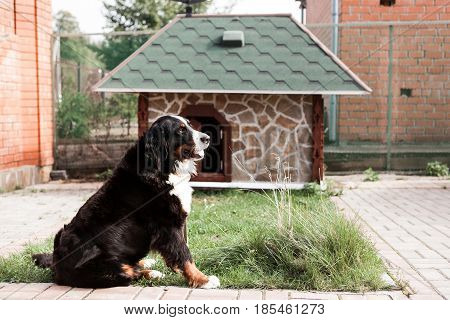 Purebred adult dog outdoors in the nature on a sunny day during late spring and early summer.