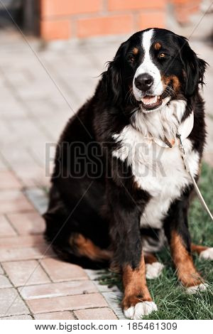 Purebred adult dog outdoors in the nature on a sunny day during late spring and early summer