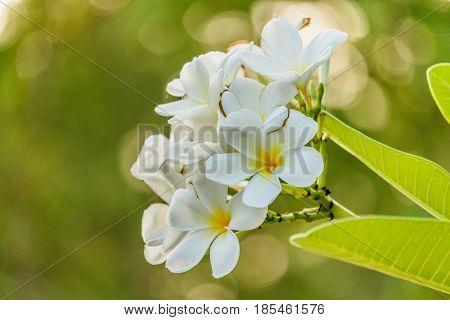 white plumeria on the plumeria tree in garden