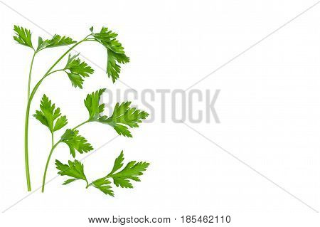 closeup of flat leaf parsley stalks and leaves on white background