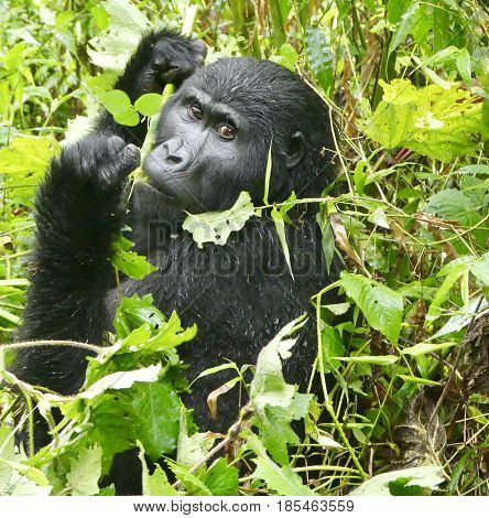 Silverback gorilla checking out tourists in Bwindi Impenetrable Forest, Uganda
