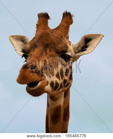 Close-up of a gorgeous giraffe's face with a blue background. Giraffe is chewing.