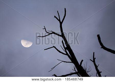 Half moon on dark sky with dead tree.