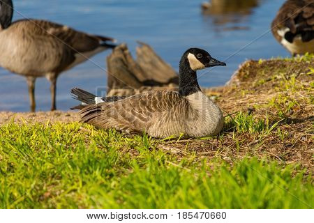 Canada Goose (branta canadensis) resting on the lakeshore of lake Wausau