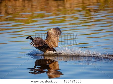 Canada Goose (Branta canadensis) splashing water as it comes in for a landing on Lake Wausau