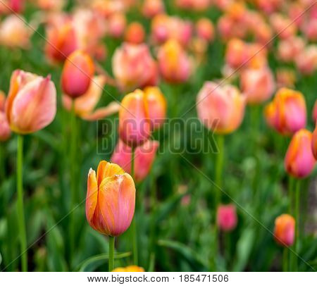 Beautiful Tulip Flower Field in New York City Central Park